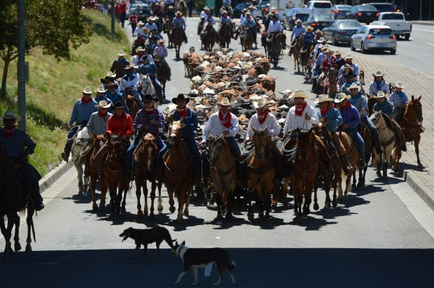 Cows are herded down Bernal Ave. to help kick-off the opening of the Alameda County Fair in Pleasanton, Calif., on Friday, June 16, 2017. The fair runs to July 9. (Dan Honda/Bay Area News Group)