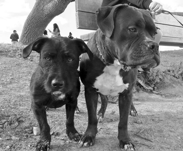 "courtesy of Terry and Kendall Butler""They have brought us so much happiness,"" Kendall Butler, of Livermore, says about Sampson, left, and Sarge, members of her and husband Terry Butler's growing brood of fur babies."