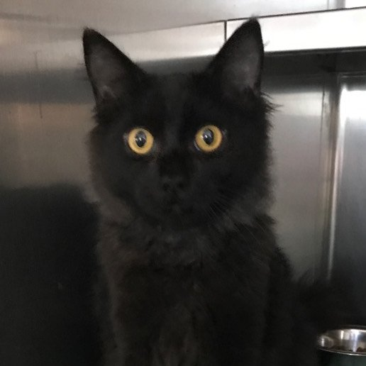 Starshine is a male, medium-haired charcoal-colored cat who loves beingpetted and is ready to find a family to call his own. The 6-month-old cat's adoption number is A124892. The shelter's featured pets, and many other animals, are available from Antioch Animal Services, 300 L St. The center is open from 10 a.m. to 5 p.m. Tuesday, Wednesday, Thursday; 10 a.m. to 2 p.m. Friday; and 10 a.m. to 5 p.m. Saturday. All of the pets from the center can be viewed at www.shelterme.com. Call 925-779-6989. COURTESY CAT COTTLE