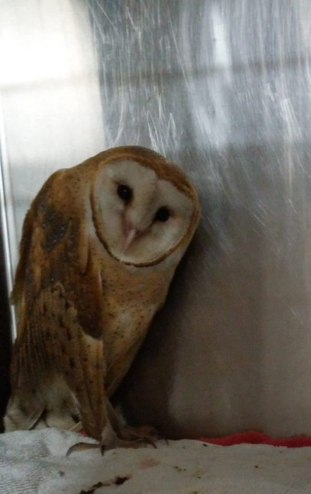 The North Bay wildfires forced the evacuation of a barn owl and a raven that had been recuperating at the Bird Rescue Center in Santa Rosa. The Lindsay Wildlife Experience in Walnut Creek is caring for the birds.