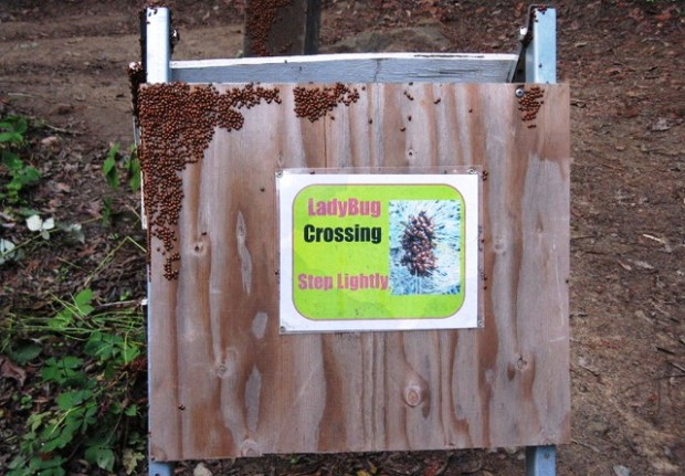 Ned MacKay/for Bay Area News GroupLadybugs cluster on a sign recently at Redwood Regional Park in Oakland. During their annual migration, ladybugs cluster by the thousands on logs, fence posts and shrubs at Redwood and other Bay Area venues.