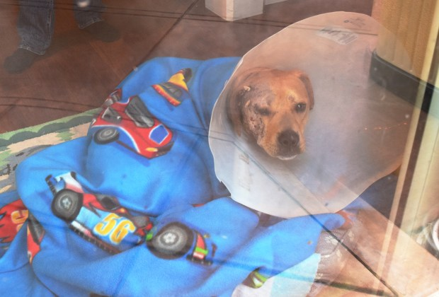 Shadow the dog as he was recovering from injuries sustained Dec. 29 at a Walnut Creek kennel. Shadow's owners have now sued the kennel.