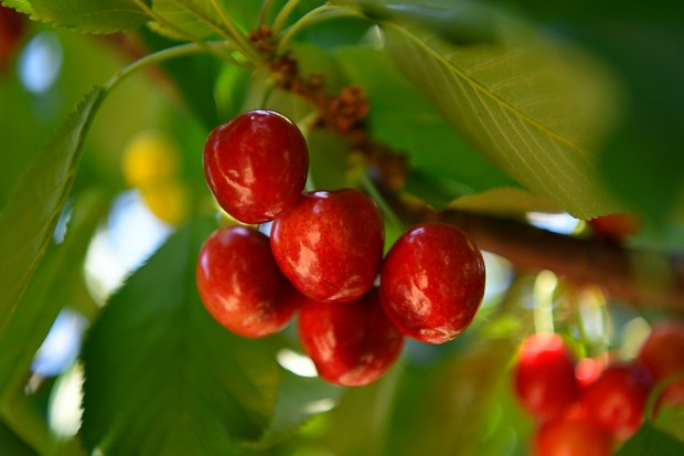Brentwood U Pick farms packed for cherry season