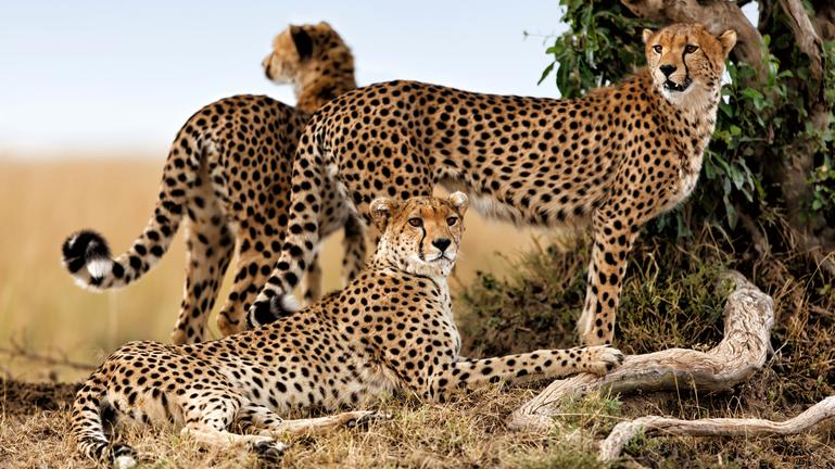 Central Serengeti Cheetahs