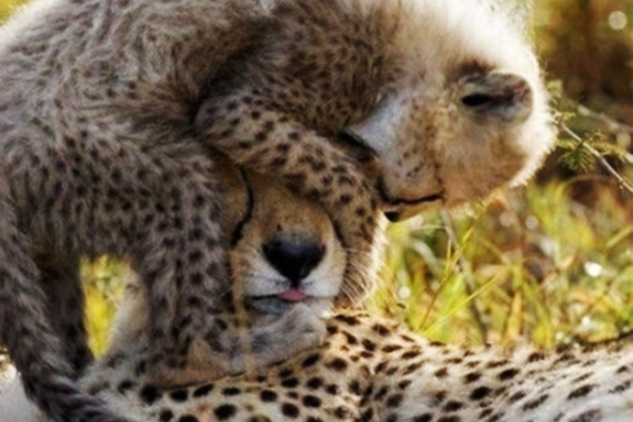 8 Day Eastern Cape Beach & Safari Package  Pumba Cheetah