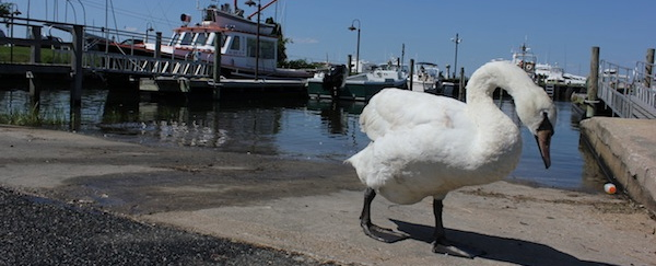 A swan guards the Downeaster Alexa. Sag Harbor, Saturday afternoon.