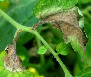 Late blight on a tomato plant   Courtesy Cornell University horticultural research laboratory