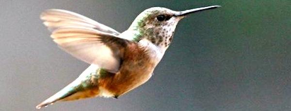 A rufous hummingbird in Richard Willott's Southold backyard | Courtesy Richard Willott