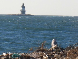A snowy owl at Orient Point   Eric Lamont photo