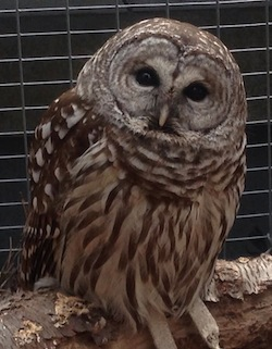 The juvenile barred owl who's taken up residence in Quogue.