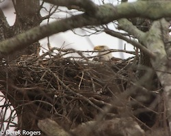 One of the eagles nesting at Mashomack Preserve | Derek Rogers photo for The Nature Conservancy