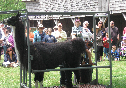 A llama being sheared at a previous fair