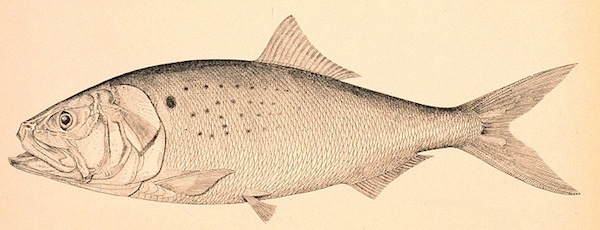 A fish from Wikipedia