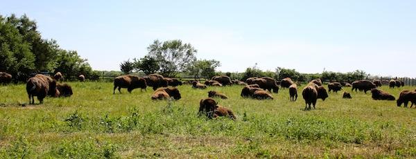 At the buffalo farm