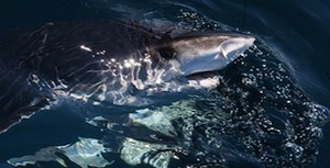 """A satellite-tagged tiger shark caught by team Free Nicky and named """"Big Kahuna"""" by students at the Montauk School 