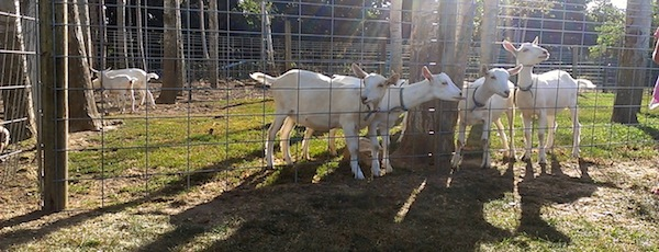 On the foodie tour....Catapano goats, Peconic