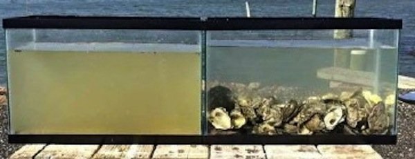 The Moriches Bay Project plans to raise $20,000 to seed the bay with oysters to protect against harmful algae blooms.