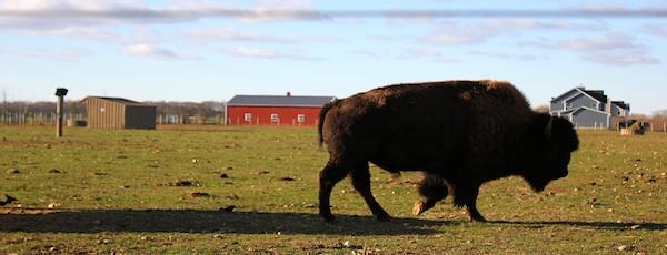 Ed Tuccio's buffalo