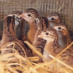 Peconic Landing's guinea hens