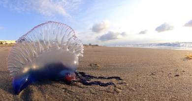Portuguese Man o' War at Palm Beach FL | Volkan Yuksel for Wikiimedia Commons