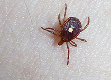 Lone Star Tick by Patrick Randall