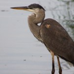 Heron on James Creek
