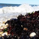 In the Wrack Line, Long Island Sound