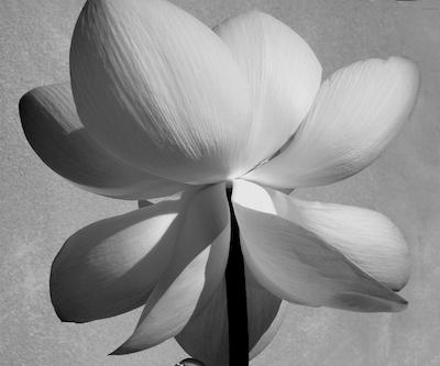 Lotus Blossom | Tulla Booth