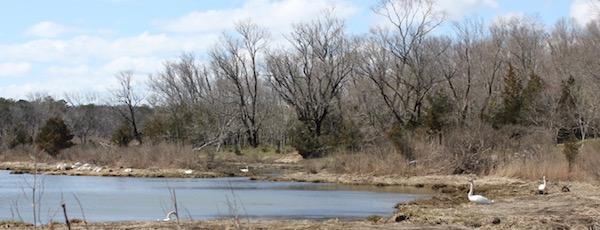 The swan spot of Aquebogue.