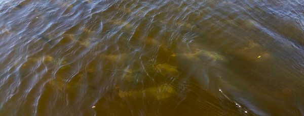 Schools of bunker in the Peconic River last Sunday.