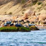 Plum Island Seals | Robert Lorenz Photography