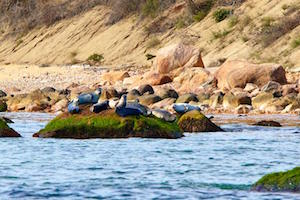 Plum Island Seals | Robert Lorenz Photography