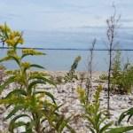 Seaside goldenrod.