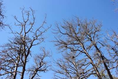Dead Stage 3 trees in an area of Hubbard County Park cut to prevent the spread of southern pine beetle.