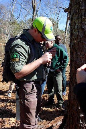 DEC forester Nate Hudson digs a pine beetle out of a tree.