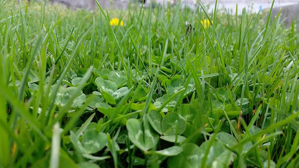 Dandelions and clover are part of a biodiverse lawn.