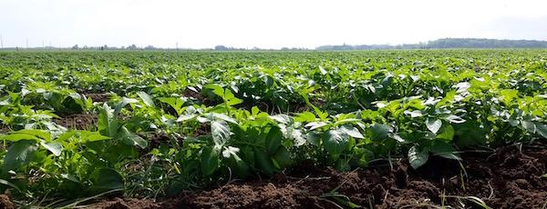 In the potato fields, Riverhead.