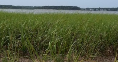 In the spartina, Flanders