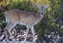 Climate Local Now: Oh Deer, What Can The Matter Be