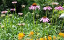 In the Echinacea