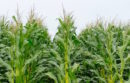 In the corn...