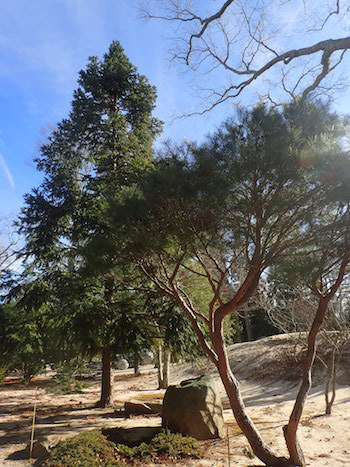 Photo 2Tanyosho pine (foreground) and Chinese fir are two of the many intriguing evergreen specimens at LongHouse Reserve.
