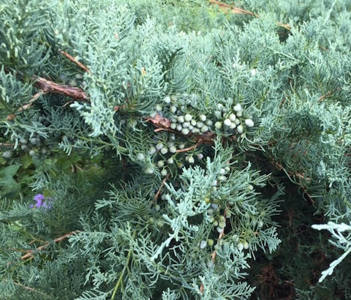 Photo 3At Bridge Gardens, Eastern red cedar 'Grey Owl' is a food source for birds in the winter.