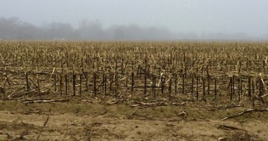 Last Year's Corn, Fog, Cutchogue