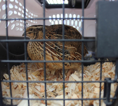 Abra Morawiec of Feisty Acres brought a friendly quail and some pickled quail eggs to the festival.