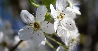 The Bradford pear's five-petaled blossoms are highly ornamental.