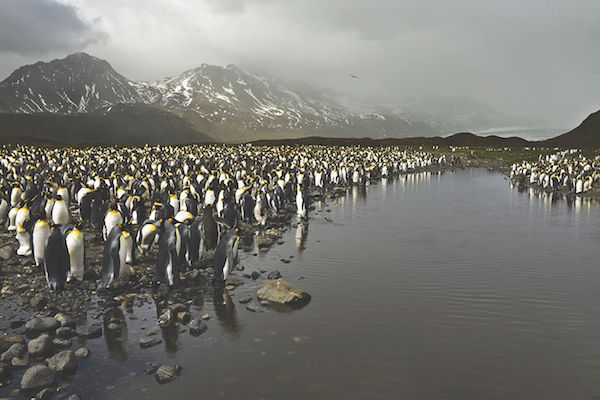 "Camille Seaman's ""King Penguins at Fortuna Bay, South Georgia, 2009"""
