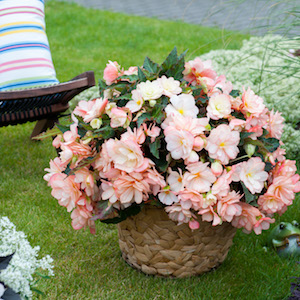 The I'Conia series of begonias ('Miss Montreal' shown here) features masses of vibrant flowers for a season-long display.