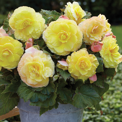 'Strawberries and Cream' tuberous begonia produces fully double, giant blooms that will easily brighten a shady garden.