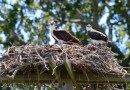 Ospreys on the Rise: Group for the East End Documents Dramatic Increase in Osprey Populations